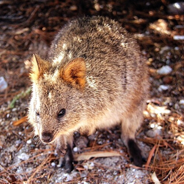 Rottnest Island is the best place to see quokkas!